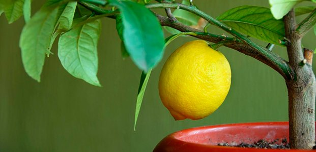У лимона опадают листья – причины и порядок действий