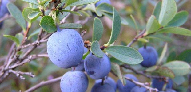 Голубика – полезные свойства синей ягоды