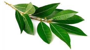Лавровый лист – польза, вред и лечебные свойства