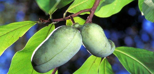 Азимина – польза и полезные свойства