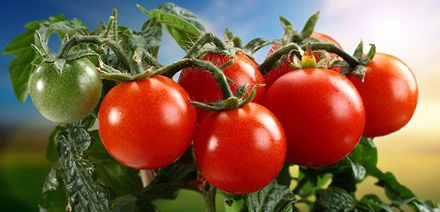Турецкие помидоры пустят в Россию в ограниченном количестве
