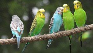 Волнистый попугай – уход в домашних условиях