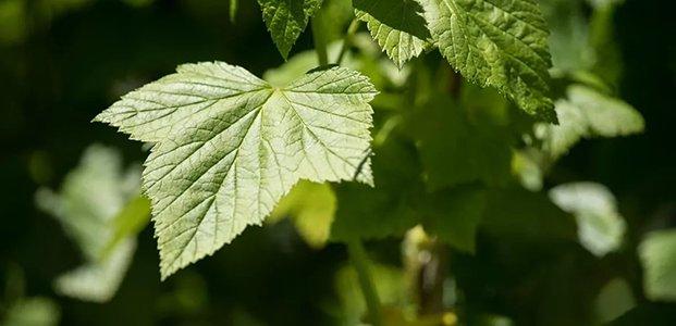 Листья смородины – полезные свойства и применение