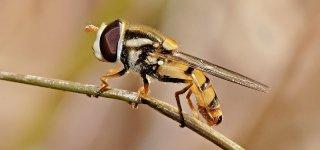 Луковая муха – как бороться и чем обработать