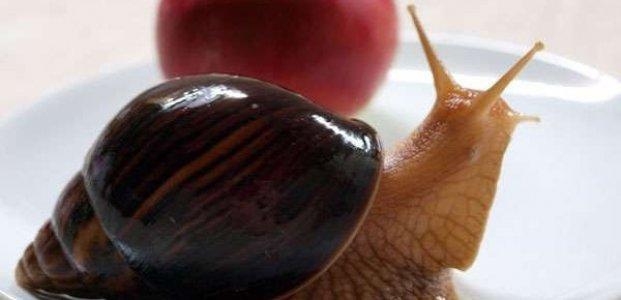 Улитки ахатины – уход и содержание, рацион, размножение