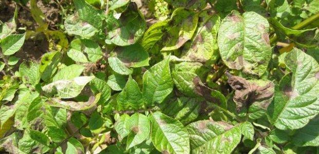 Фитофтороз картофеля – боремся с летней болезнью корнеплода