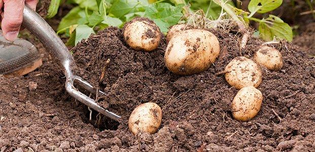 Картофель — посадка, уход, выращивание и сбор урожая картофеля