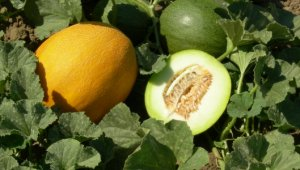 Как поливать дыню – теплица и открытый грунт