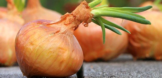 Репчатый лук – польза, вред и калорийность