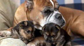 Как принять роды у маленькой собаки