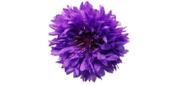 Василек — полезные свойства и польза василька