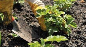 Клубника и земляника — уход и правила выращивания