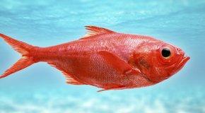 Морской окунь – состав, полезные свойства и вред