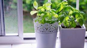 Базилик на подоконнике – домашнее выращивание