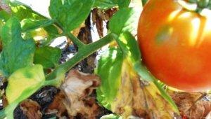 Сохнут листья у помидоров – причины и что делать