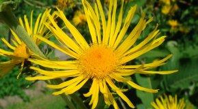 Девясил – польза и полезные свойства