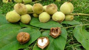 Маньчжурский орех – лечебные свойства и противопоказания
