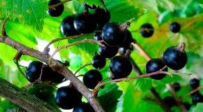 Смородина — посадка, болезни, обрезка и уничтожение вредителей