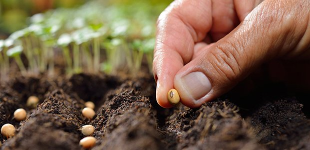 Фасоль – посадка и уход в открытом грунте