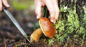Как нужно собирать грибы – срезать или выкручивать