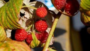 Посадка малины осенью – время и правила