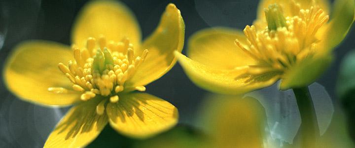 Аллергия на цветение березы