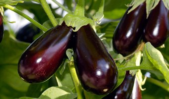 Баклажаны в теплице – посадка и выращивание