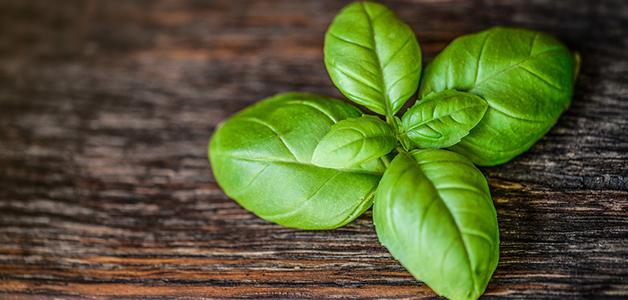 Базилик- полезные лечебные свойства и противопоказания