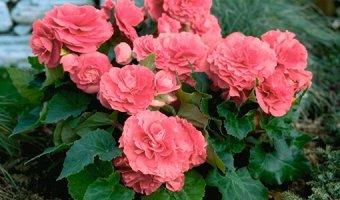 Бегония – уход, заболевания и особенности цветения