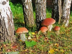 Белые грибы беременным