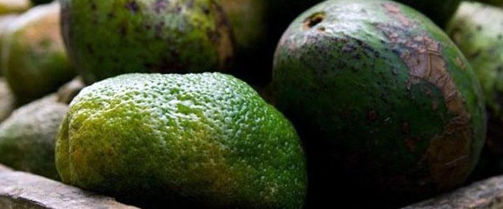 Фитофтора на авокадо
