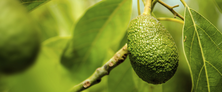 Болезни и вредители авокадо – как избавиться
