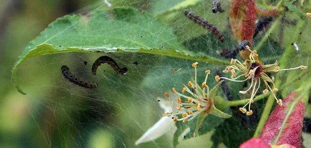 опрыскивать яблони после цветения от болезней