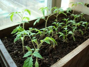 Чем подкармливать помидоры