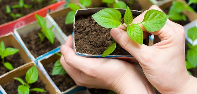 Подкормка рассады томатов и перца народными средствами в домашних условиях 611