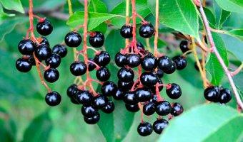 Черемуха – польза и полезные свойства черемухи
