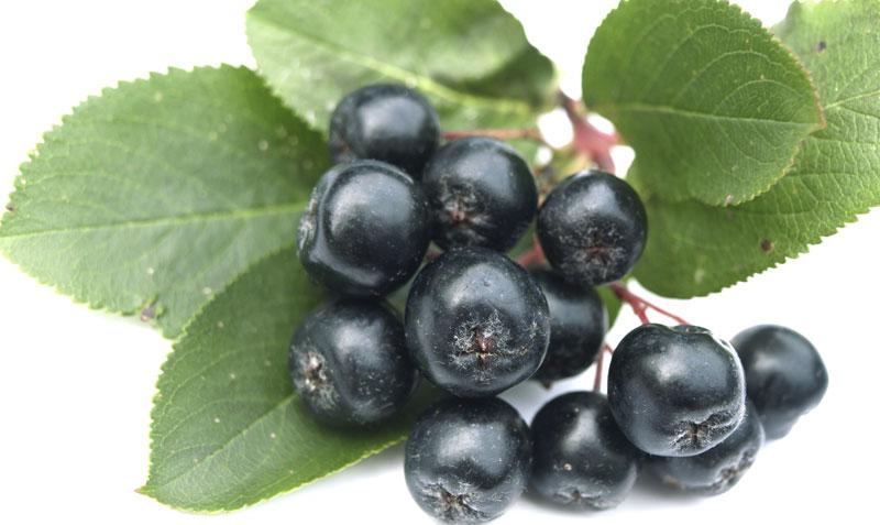 чёрноплодная рябина фото