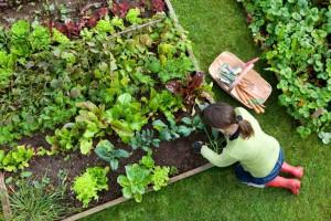 Огород в августе что делать
