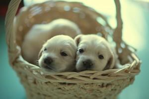 Как помочь в родах собаке мелкой породы