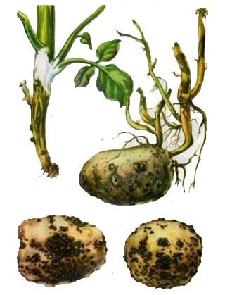 Фитофтороз картофеля лечение