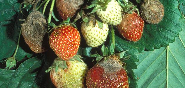 Гниль на ягодах клубники
