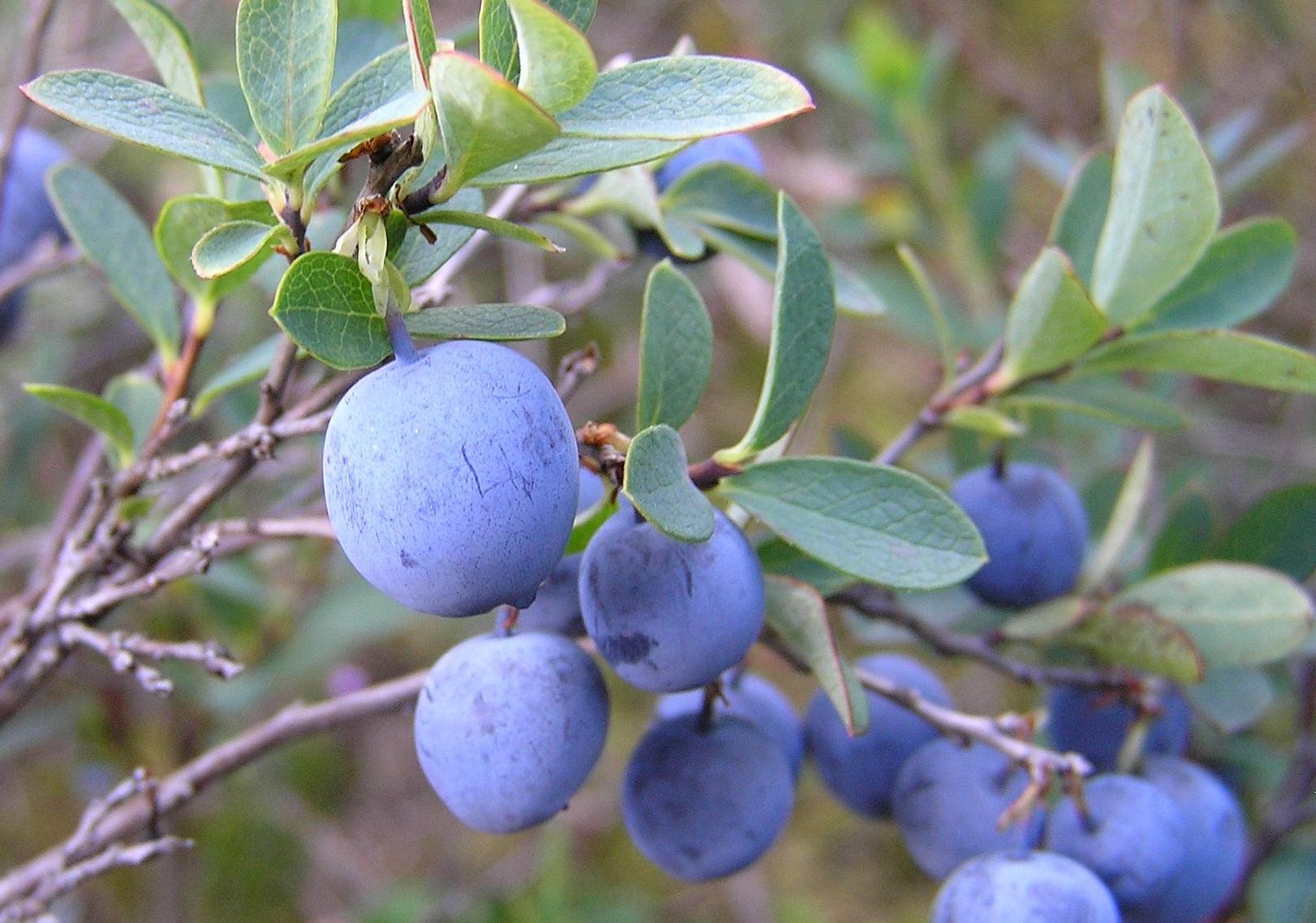 Голубика - полезные свойства синей ягоды
