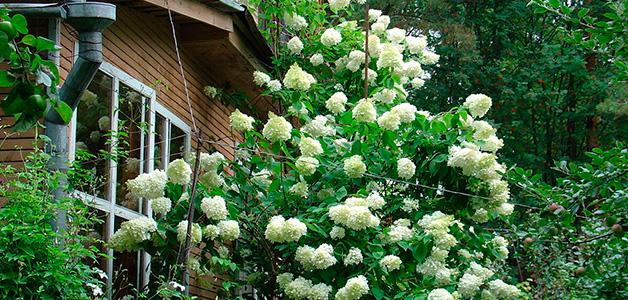 Гортензия садовая уход