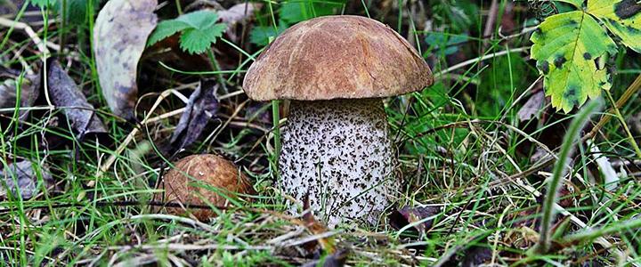 Почему гриб синеет на срезе