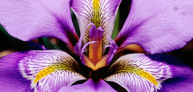 Ирисы - посадка и уход за цветами