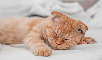 К чему снится рыжий кот: подробное толкование сна