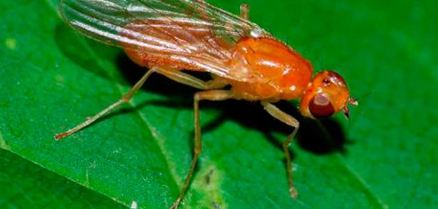 Как бороться с морковной мухой?