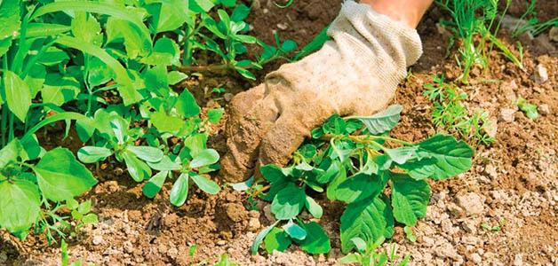Сорняки в огороде: польза и методы эффективной борьбы
