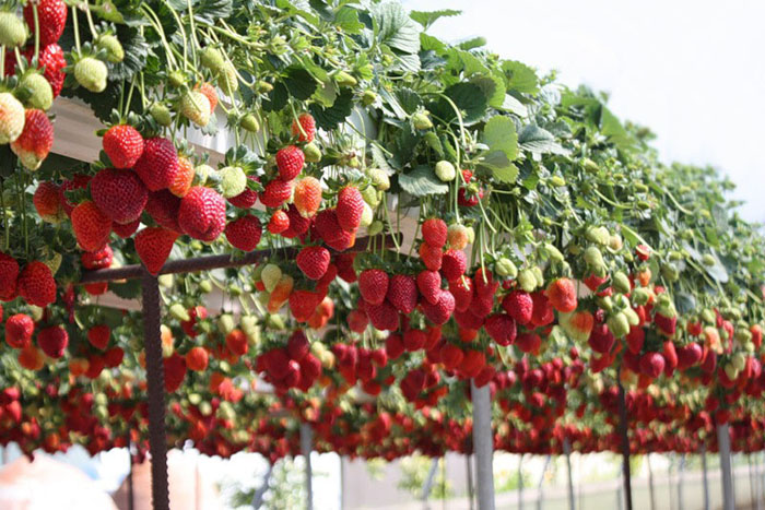 Клубника условия выращивания