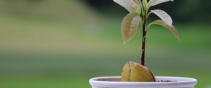 Авокадо из косточки
